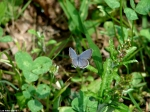 Floral Trail Eastern Tailed-Blue Butterfly