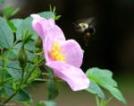 Tufa Terrace Wild Rose Bumble Bee