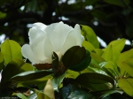 Arlington Lawn Magnolia Blossom