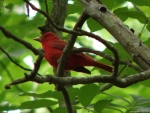 Hot Springs Mountain Trail Summer Tanager