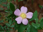 Hot Springs Mountain Trail Wild Rose