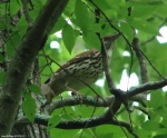 Hot Springs Mountain Trail Brown Thrasher