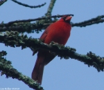 Peak Male Cardinal