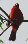 Promenade Male Cardinal