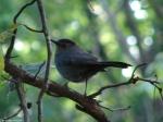 Dead Cheif Trail Gray CatBird