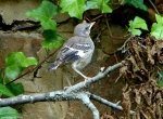 Promenade Baby Northern Mockingbird