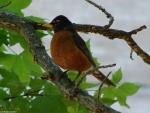 Promenade Male Robin