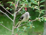 05192010PromenadeNorthernMockingbird