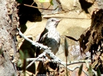 Promnade Northern Mockingbird Baby