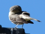 Promnade Northern Mockingbird