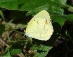 Floral Trail Clouded Sulphur Butterfly