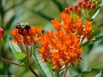 Goat Rock Trail Butterfly Weed
