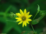 Goat Rock Trail Woodland Sunflower