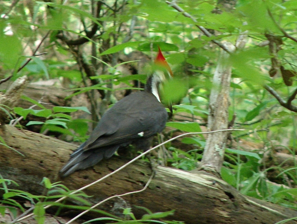 Hot Springs Mountain Trail Pileated Woodpecker