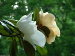 Arlington Lawn Magnolia