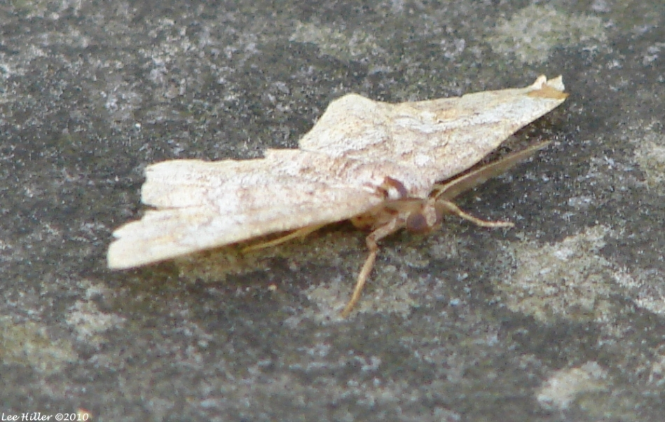Fountain Street Cream Moth