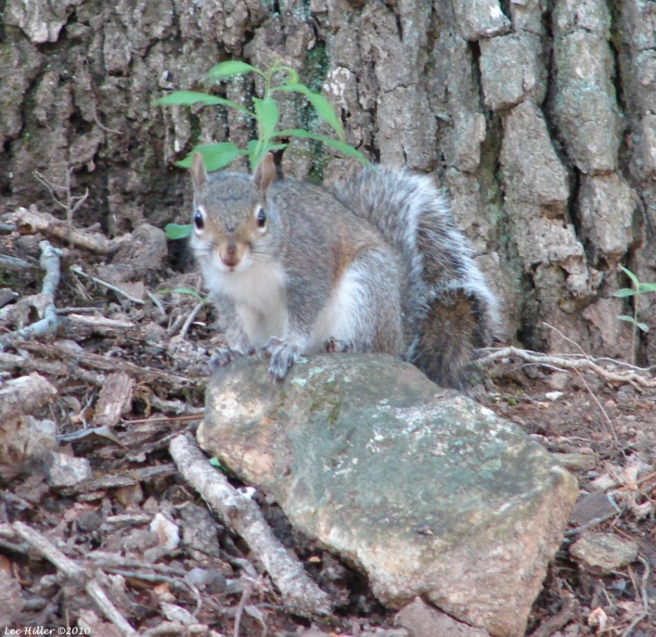Park Gates Lone Squirrel