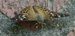 Promenade Hackberry Emperor Butterfly