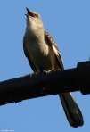 Promenade Northern Mockingbird