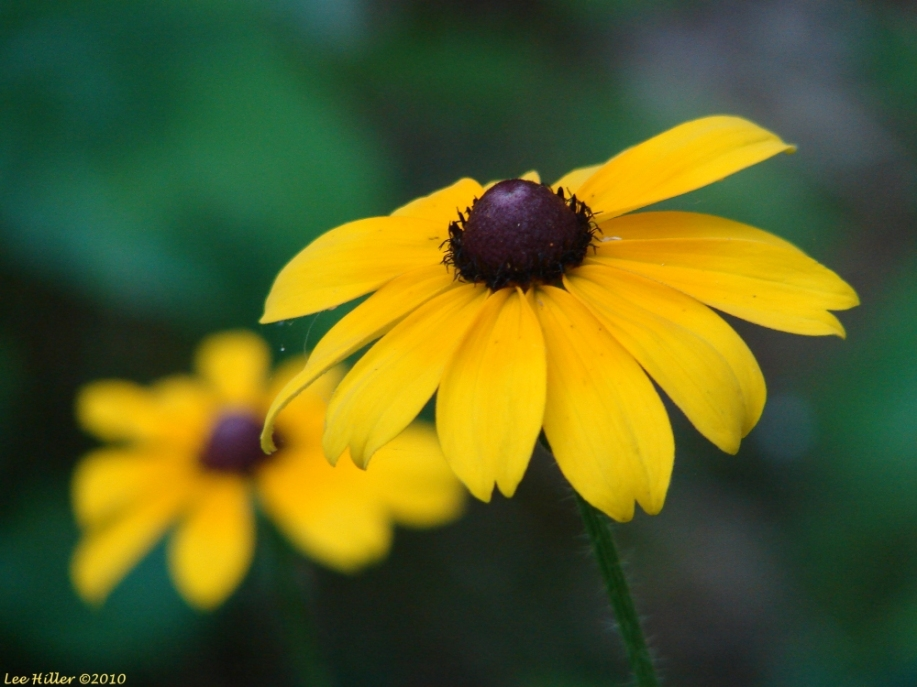 Hot Springs Mountain Trail Black-Eyed Susan