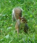 Promenade Squirrel