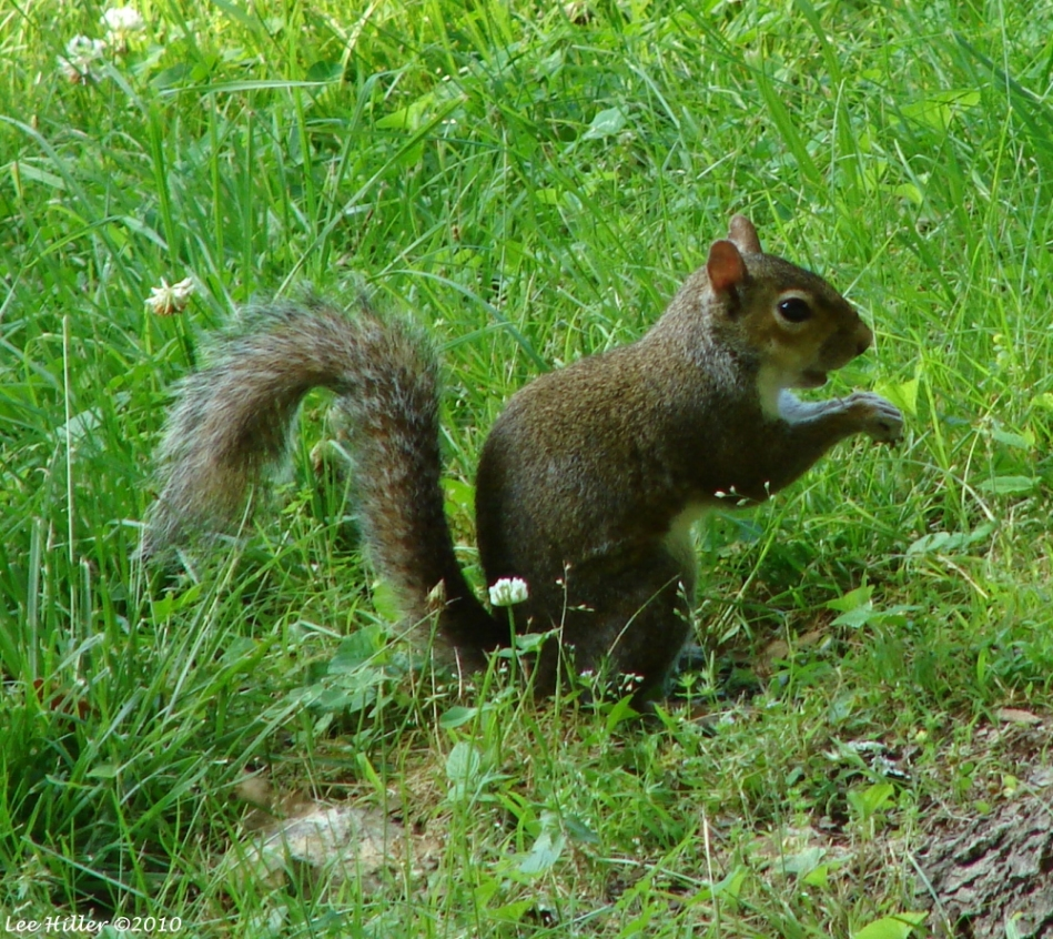 Promenade Squirrel