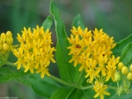 Promenade Yellow Butterfly Weed