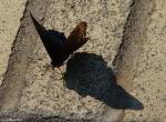 Promenade Black Blue Butterfly