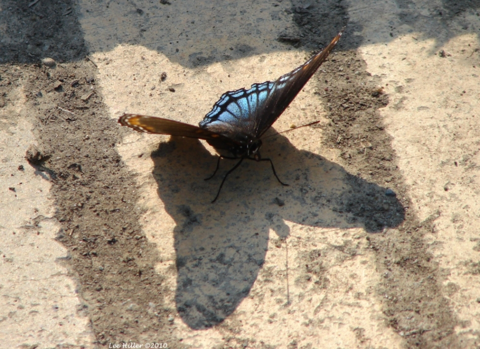 Promenade Black Blue Butterfly