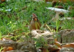 Fountain Street Female Cardinal