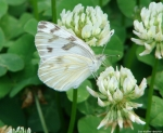 Fountain Street Checkered White Butterfly