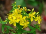 Hot Springs Mountain Trail Common St Johns Wort