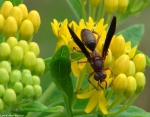 Promenade Yellow Butterfly Weed Wasp