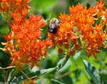 Goat Rock Trail Orange Butterfly Weed