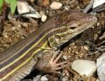 Goat Rock Trail Prairie Racerunner Lizard
