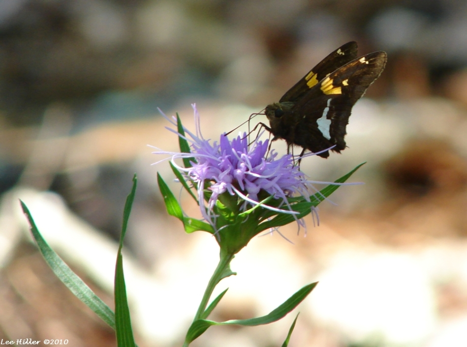 Goat Rock Trail Scaly Blazing Star and Silver-spotted Skipper Butterfly