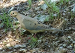 Gulpha Gorge Mourning Dove