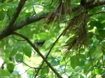 Lower Dogwood Trail Black White Warbler