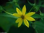 Lower Dogwood Trail Woodland Sunflower