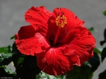Central Avenue Red Hibiscus