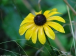 Hot Springs Mountain Trail Black-Eyed Susan Drenched