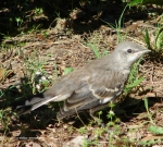 Promenade Northern Mockingbird Baby