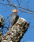 Shot Cut Trail Red-Bellied Woodpecker