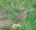 Arlington Lawn Baby Cardinal