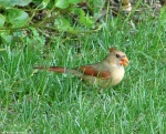 Arlington Lawn Female Cardinal