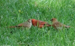 Arlington Lawn Male Cardinal Caring For Babies