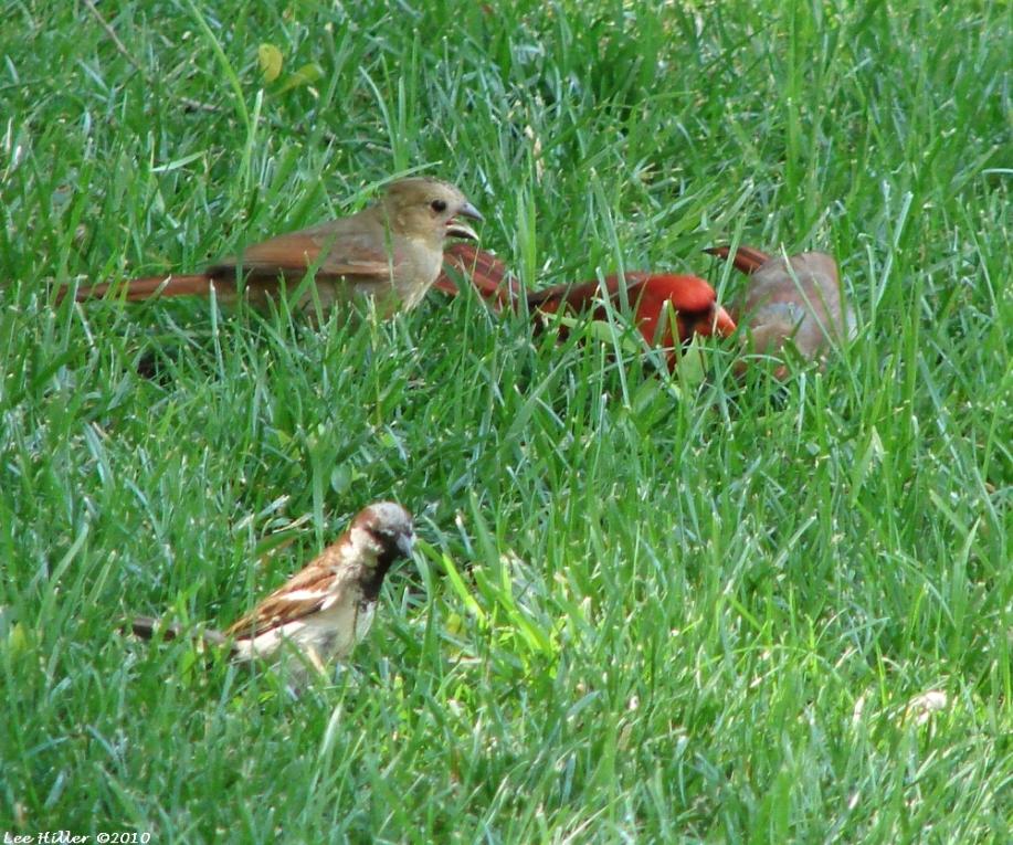 Arlington Lawn Male Cardinal Caring For Babies