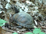 Hot Springs Mountain Trail Male Box Turtle