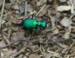 Hot Springs Mountain Trail Metallic Green Insect