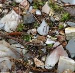Honeysuckle Trail Palpatores Sclerosomatidae Leiobunum